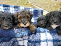 Schnoodle Puppies for sale in Provo, UT 84601, USA. price: NA