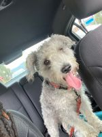 Schnoodle Puppies for sale in Laurel, MD 20707, USA. price: NA