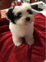 Schnoodle Puppies for sale in Lake Worth, FL, USA. price: NA