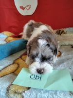 Schnoodle Puppies for sale in Marysville, WA, USA. price: NA