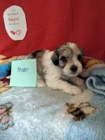 Schnoodle Puppies Photos