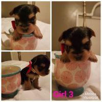 Schnorkie Puppies Photos