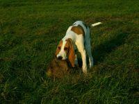 schweizer laufhund dog