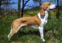 schweizer niederlaufhund dog