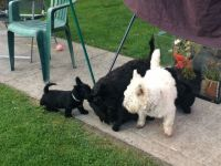 Scoland Terrier Puppies for sale in Addison, TX 75001, USA. price: NA
