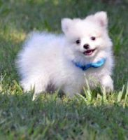 Scotch Collie Puppies for sale in Virginia Beach, VA, USA. price: NA