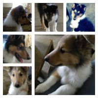 Scotch Collie Puppies for sale in Osseo, WI 54758, USA. price: NA