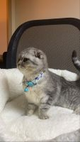 Scottish Fold Cats for sale in Waterbury, CT, USA. price: NA