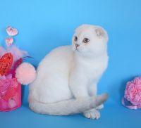 Scottish Fold Cats for sale in Glen Cove, NY, USA. price: NA