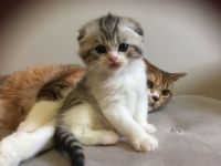 Scottish Fold Cats for sale in California City, CA, USA. price: NA
