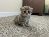 Scottish Fold Cats for sale in Orlando, FL 32822, USA. price: NA