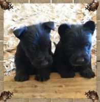 Scottish Terrier Puppies for sale in Shreveport, LA, USA. price: NA