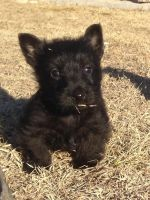 Scottish Terrier Puppies for sale in Herington, KS 67449, USA. price: NA