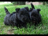 Scottish Terrier Puppies for sale in Honolulu, HI, USA. price: NA