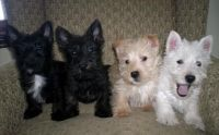 Scottish Terrier Puppies for sale in Kansas City, KS, USA. price: NA