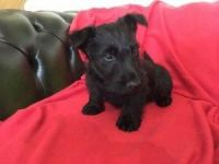 Scottish Terrier Puppies for sale in Chicago, IL, USA. price: NA