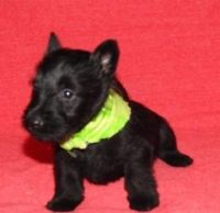 Scottish Terrier Puppies for sale in Fairhope, AL 36532, USA. price: NA
