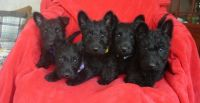 Scottish Terrier Puppies for sale in San Antonio, TX, USA. price: NA