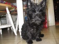 Scottish Terrier Puppies for sale in Carlsbad, CA, USA. price: NA