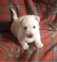 Scottish Terrier Puppies for sale in Los Angeles, CA, USA. price: NA
