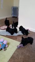 Scottish Terrier Puppies for sale in Houston, TX, USA. price: NA
