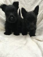 Scottish Terrier Puppies for sale in San Diego, CA, USA. price: NA