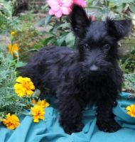 Scottish Terrier Puppies for sale in Washington, VA 22747, USA. price: NA