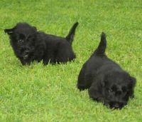 Scottish Terrier Puppies for sale in New Hampshire Ave, Toms River, NJ 08755, USA. price: NA