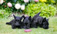 Scottish Terrier Puppies for sale in California St, San Francisco, CA, USA. price: NA