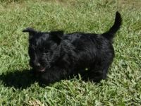 Scottish Terrier Puppies for sale in Missoula, MT, USA. price: NA