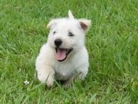 Scottish Terrier Puppies for sale in Richmond, VA, USA. price: NA