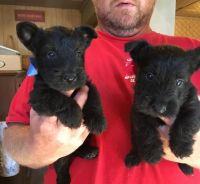 Scottish Terrier Puppies Photos