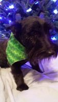 Scottish Terrier Puppies for sale in Hopkinsville, KY, USA. price: NA