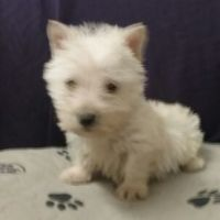 Scottish Terrier Puppies for sale in Ossian, IN 46777, USA. price: NA