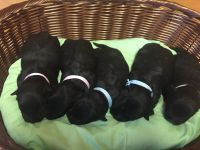 Scottish Terrier Puppies for sale in Kenly, NC 27542, USA. price: NA