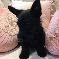 Scottish Terrier Puppies for sale in Birmingham, AL, USA. price: NA