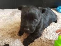 Scottish Terrier Puppies for sale in San Francisco, CA 94124, USA. price: NA