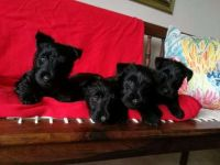 Scottish Terrier Puppies for sale in US-130, North Brunswick Township, NJ 08902, USA. price: NA