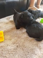 Scottish Terrier Puppies for sale in Merrick, NY, USA. price: NA
