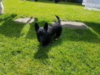 Scottish Terrier Puppies for sale in Pottsboro, TX 75076, USA. price: NA