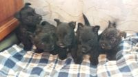 Scottish Terrier Puppies for sale in Seattle, WA, USA. price: NA
