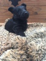 Scottish Terrier Puppies for sale in Paris, TX 75461, USA. price: NA