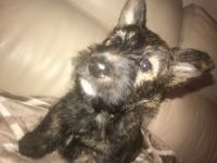Scottish Terrier Puppies for sale in Philadelphia, PA, USA. price: NA