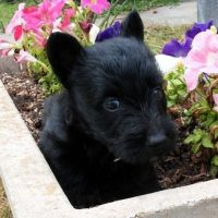 Scottish Terrier Puppies for sale in San Francisco, CA, USA. price: NA