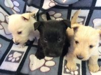 Scottish Terrier Puppies for sale in Dallas, TX, USA. price: NA