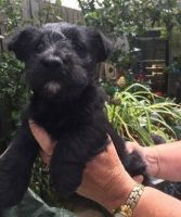 Scottish Terrier Puppies for sale in NJ-3, Clifton, NJ, USA. price: NA