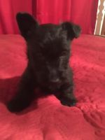 Scottish Terrier Puppies for sale in 34029 Medford Rd, Auberry, CA 93602, USA. price: NA