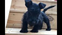 Scottish Terrier Puppies for sale in Fredericksburg, VA 22401, USA. price: NA
