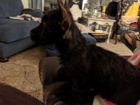 Scottish Terrier Puppies for sale in Westminster, CO 80031, USA. price: NA