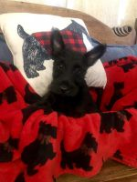 Scottish Terrier Puppies for sale in Jamul, CA, USA. price: NA